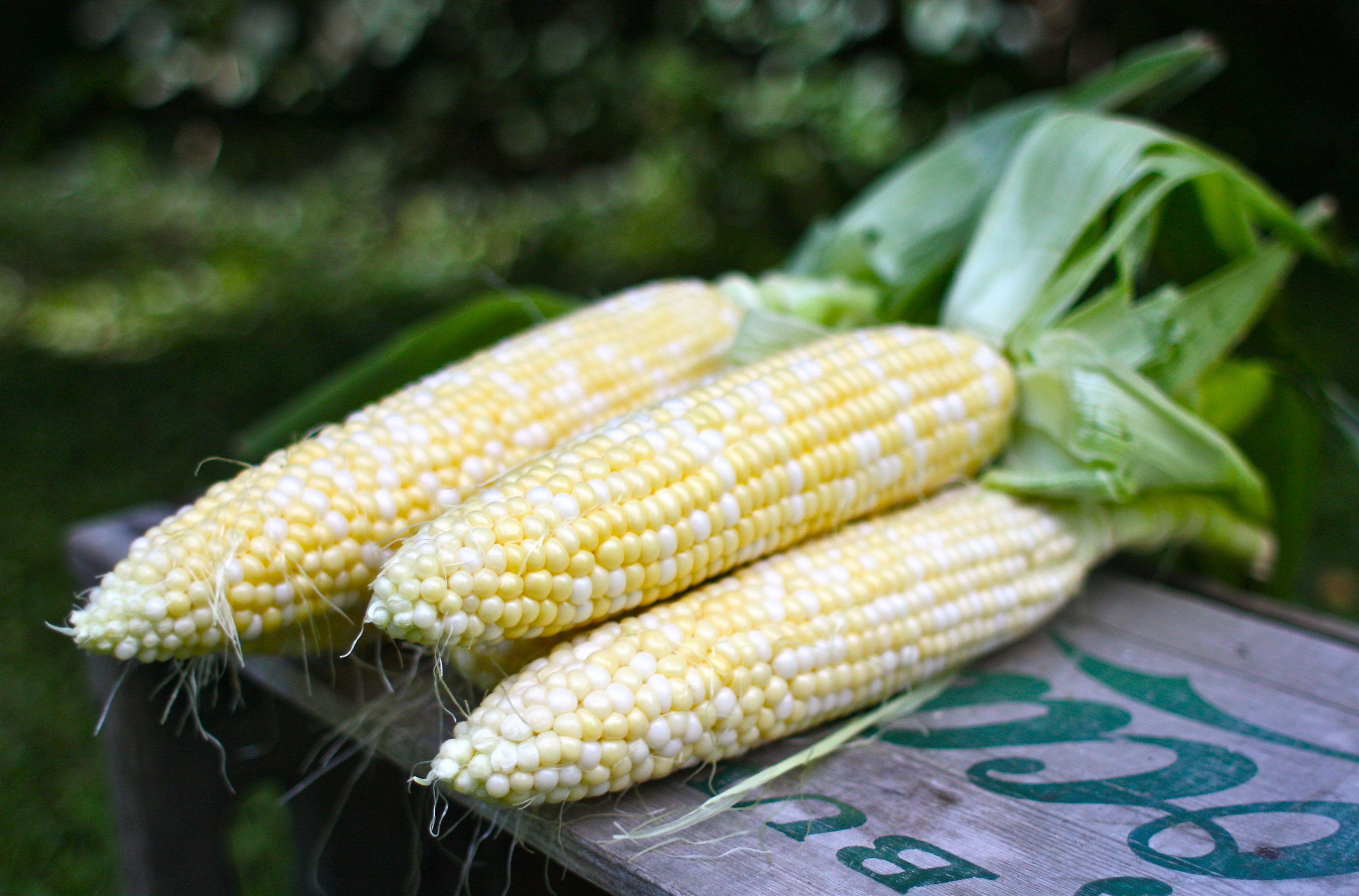 Spotlight Ingredient: Sweet Summer Corn | Simple Bites