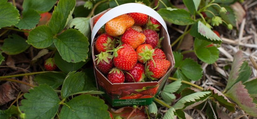 Visit a strawberry u-pick