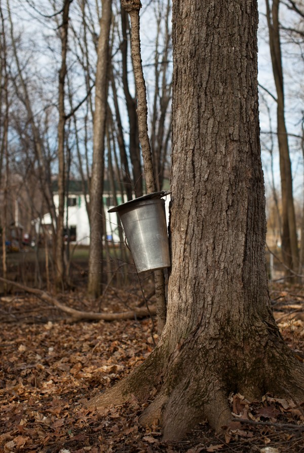 Tapping maple trees | Simple Bites
