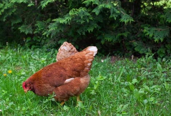 Backyard chickens   Simple Bites