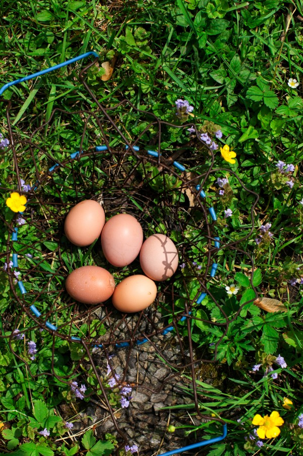 Farm fresh eggs in basket   Simple Bites #urbanchickens