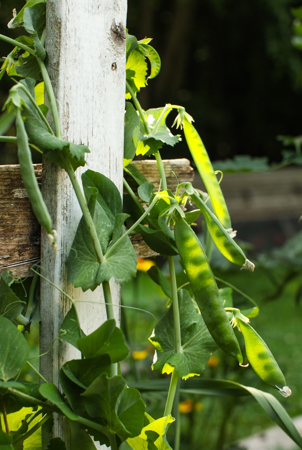 A Garden Tour   Simple Bites  close up peas-1