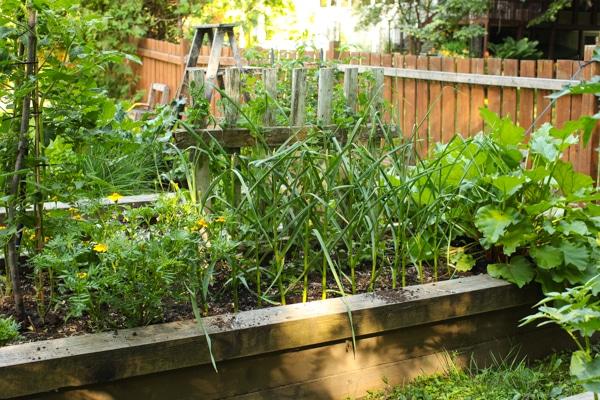 A Garden Tour | Simple Bites  garlic-1