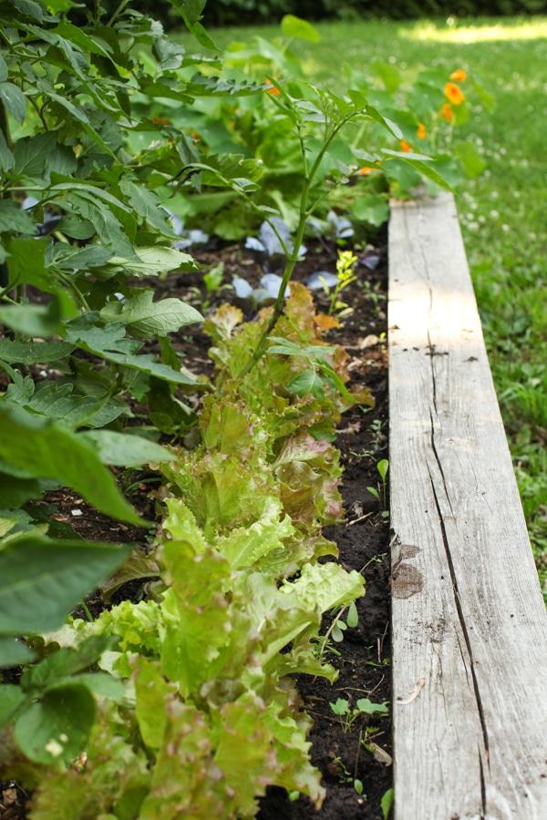 A Garden Tour | Simple Bites  lettuce-1