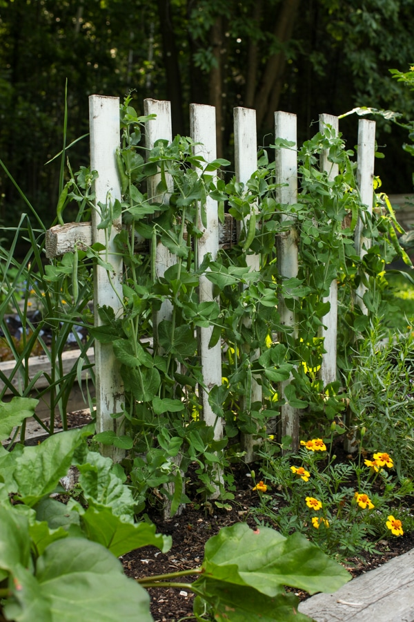 A Garden Tour | Simple Bites  peas-1