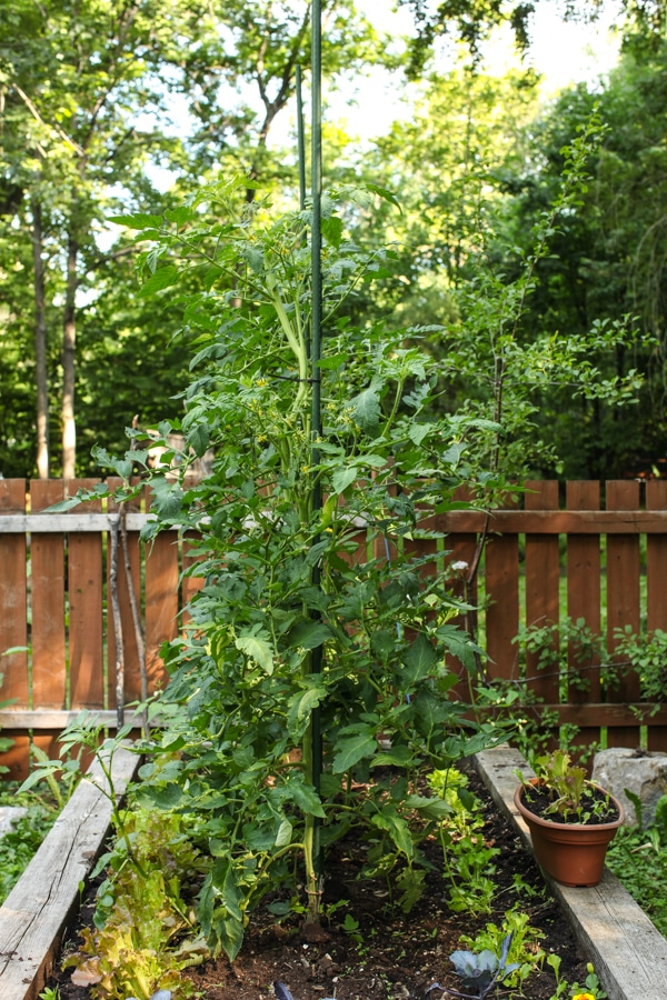 A Garden Tour | Simple Bites  tall tomatoes-1