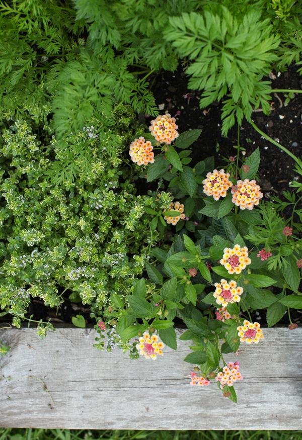 A Garden Tour   Simple Bites lemon thyme