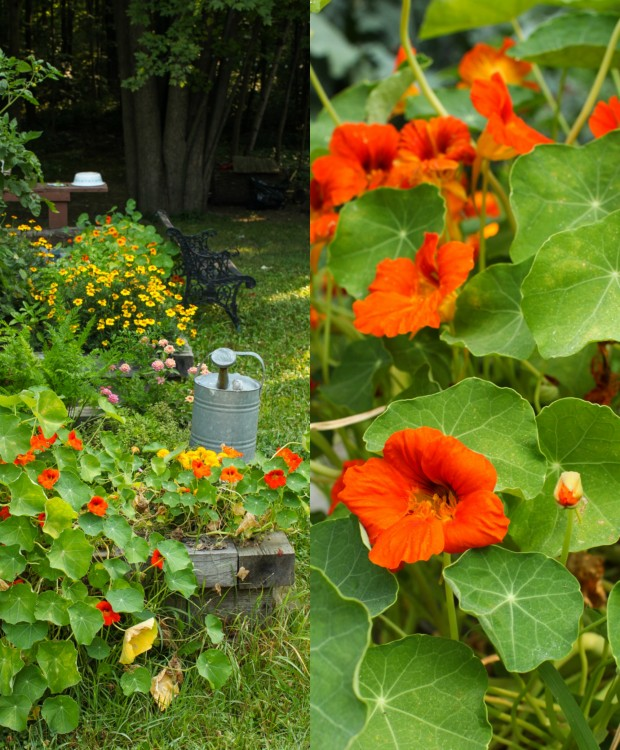 Edible Flowers: Nasturtiums