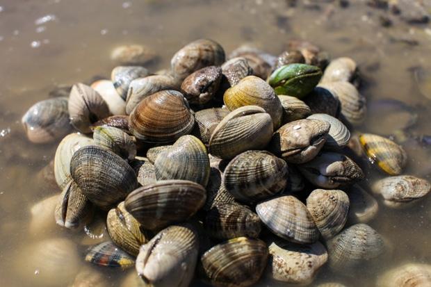 Fresh dug clams on Cortes Island, BC || Simple Bites