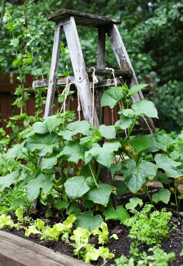 Tour the Simple Bites backyard garden in spring: cucumbers