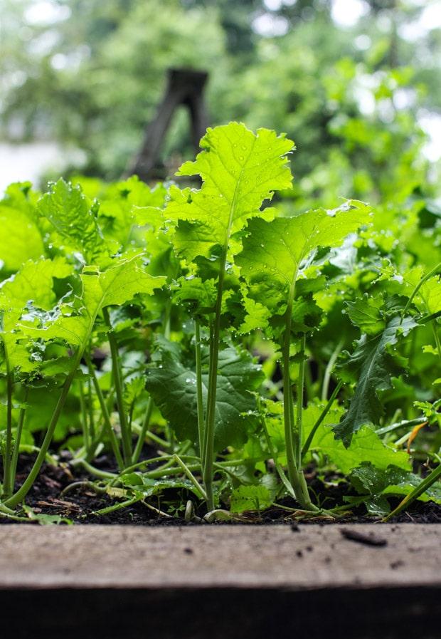 Tour the Simple Bites backyard garden in spring: kale