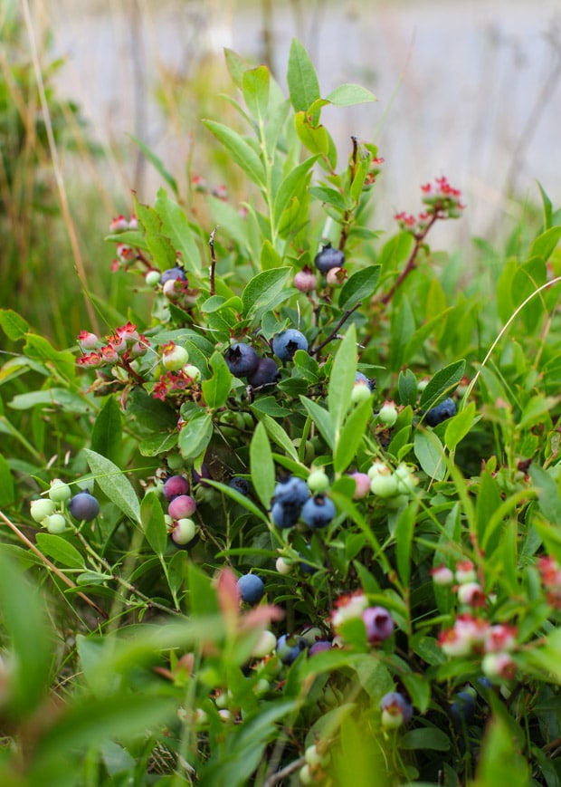 Newfoundland wild blueberries | Simple Bites